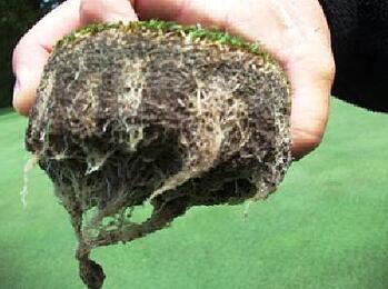 golf turf roots