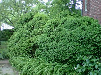 Holganix, lawn care, organic fertilizer, boxwood