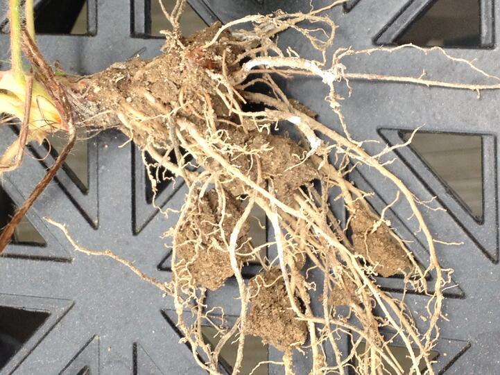 mycorrhizae_colonization_on_strawberry_roots_2.jpg