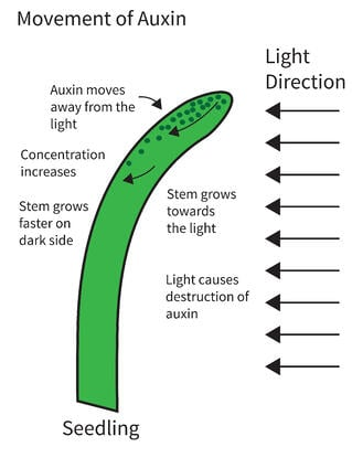 role of auxin in plants