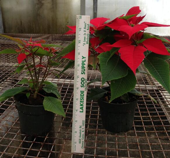 Poinsettia4-975593-edited.jpg