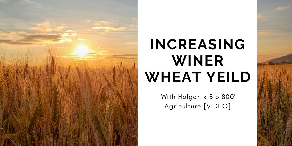 Increase Winter Wheat Yield with Holganix Bio 800 [VIDEO]